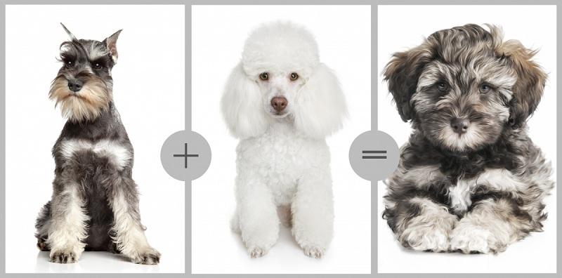 Những giống chó poodle lai đẹp nhất thế giới