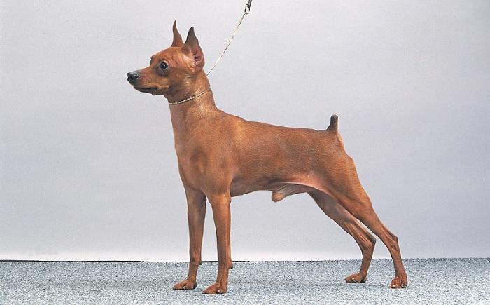 Giá chó Phốc Hươu - Minpin. Mua, bán chó Phốc Hươu giá bao nhiêu?