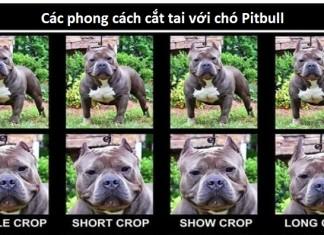 cách cắt tai chó pitbull
