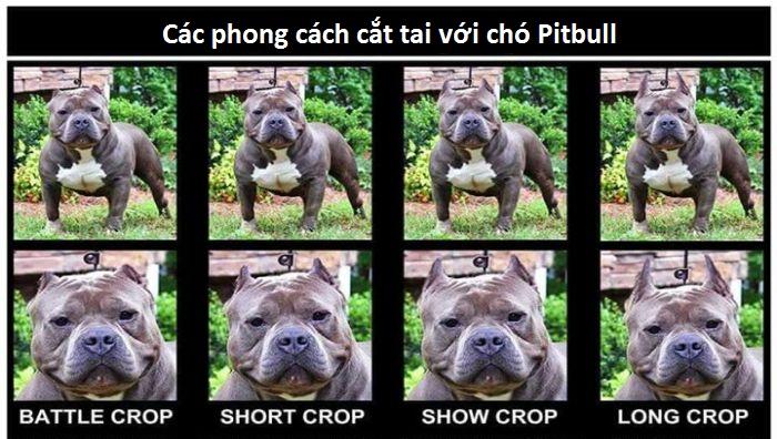 Cách Cắt Tai Chó Pitbull, Bully. Crop Tai Chó Pitbull An Toàn, Đúng Cách