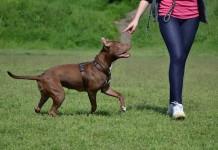 Cách nuôi dạy chó Pitbull con. Đồ dùng và Thức ăn cho chó Pitbull