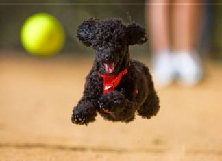 cách nuôi chó poodle | Cách chăm sóc chó poodle