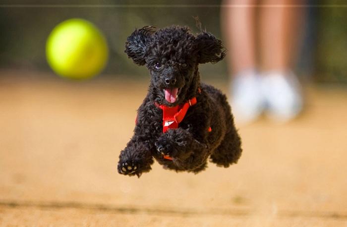 Giống chó Poodle - Đặc điểm chó Poodle | Giá mua bán chó Poodle