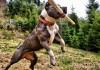Cách huấn luyện chó pitbull