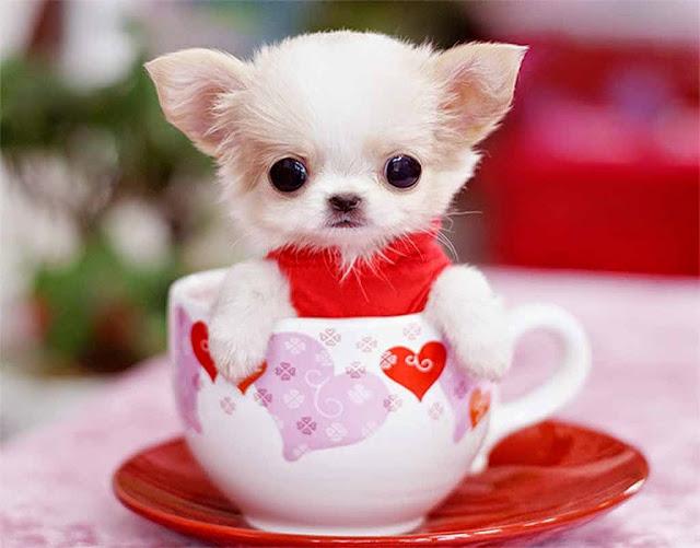 cách nuôi chó chihuahua mini teacup