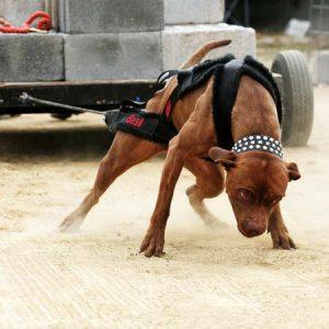 chó-pitbull-đẹp-nhất-11