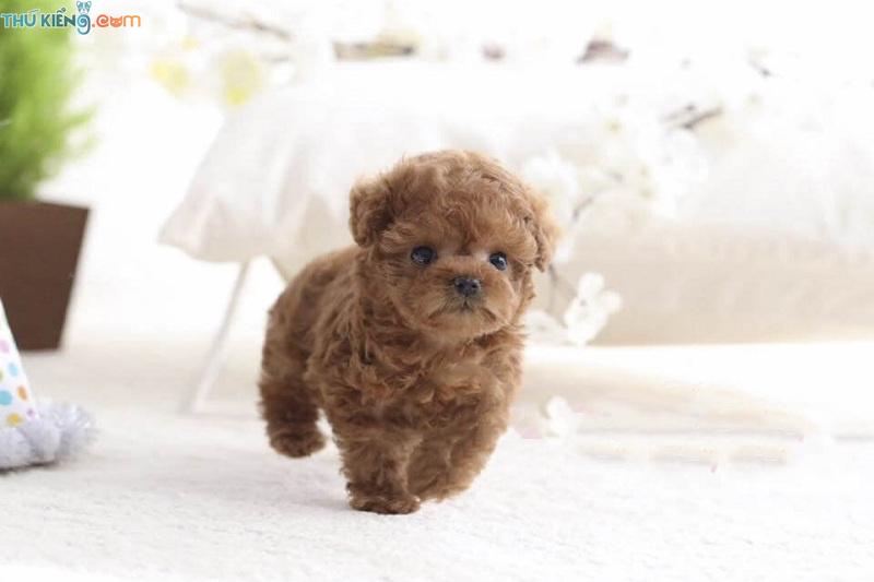 Mua chó Poodle ở đâu? Shop bán chó Poodle tại TPHCM và Hà Nội