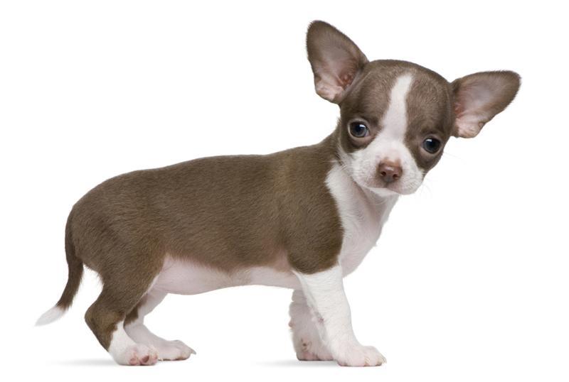 Chó Chihuahua, Chiwawa - Đặc điểm, cách nuôi và Giá chó Chihuahua