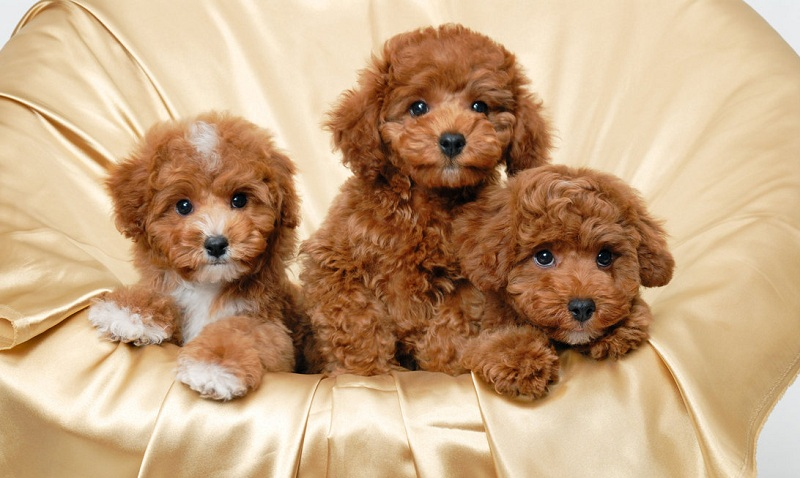 Hướng dẫn cách nuôi chó Poodle. Kinh nghiệm chăm sóc chó Poodle
