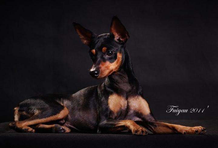 Giống chó Phốc Hươu - Chó Fox, hay chó Miniature Pinscher (Minpin)