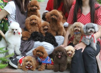 Mua chó poodle - chó poodle giá bao nhiêu tiền