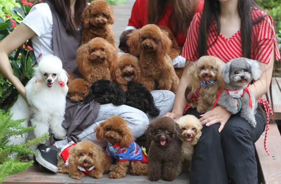 Bảng giá chó poodle. Giá mua bán chó poodle toy, tiny thuần chủng