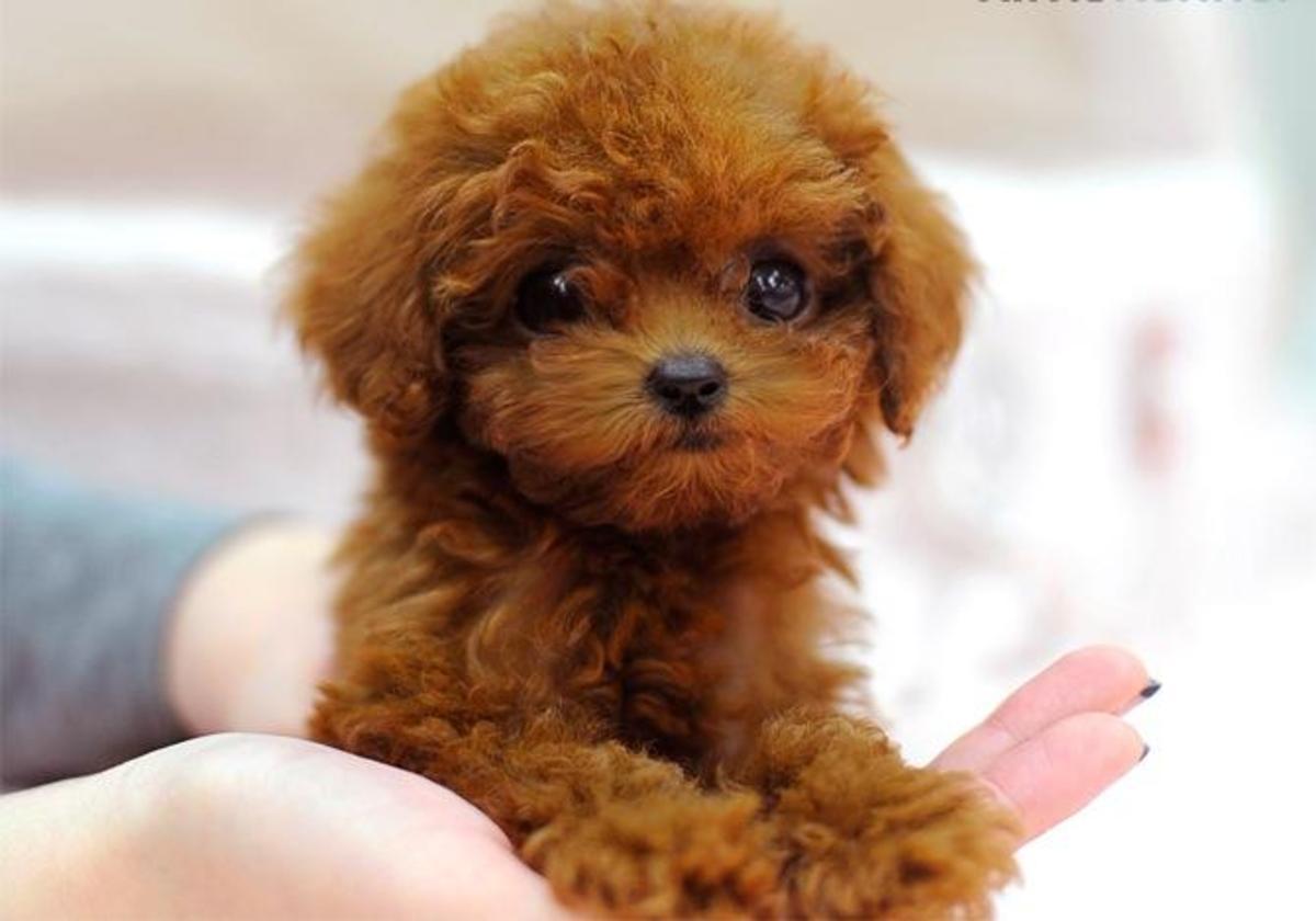 mua chó poodle, bán chó poodle tại Hà Nội và TpHCM