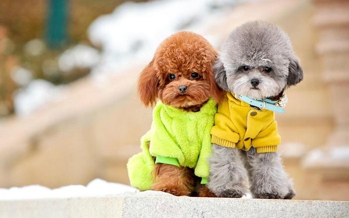 Những em poodle đáng yêu nhất thế giới