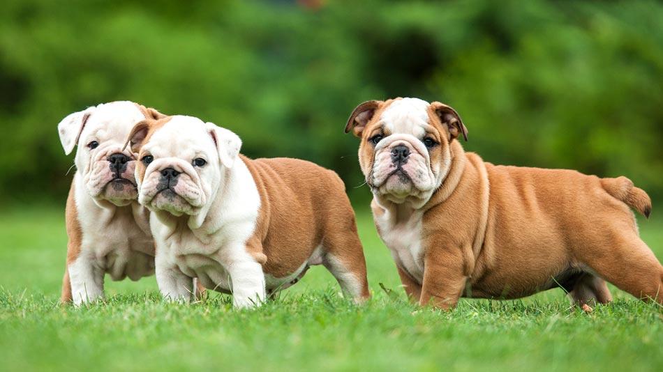 Chó Bulldog Anh - Đặc điểm, tính cách chó Bulldog. Giá bán chó Bulldog