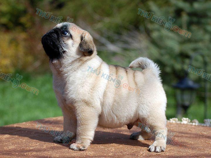 Hình Chó Pug Mặt Xệ Dễ Thương. Ảnh Chó Pug Mặt Xệ Đẹp Nhất