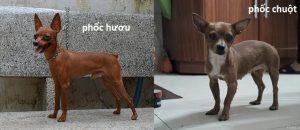 bán-chó-phốc-hươu-tại-hà-nội-tphcm