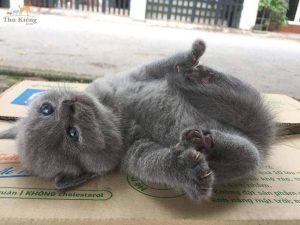 Mèo Anh Lông Dài: Nguồn Gốc, Đặc Điểm và Giá Mua, Bán Mèo ALD