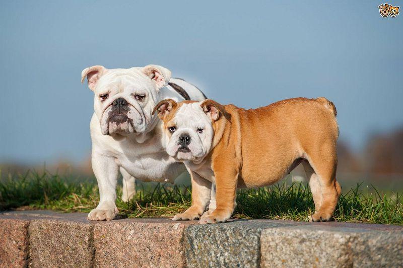 Các giống chó bulldog trên thế giới