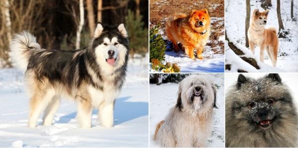 Các giống chó tuyết đẹp nhất thế giới