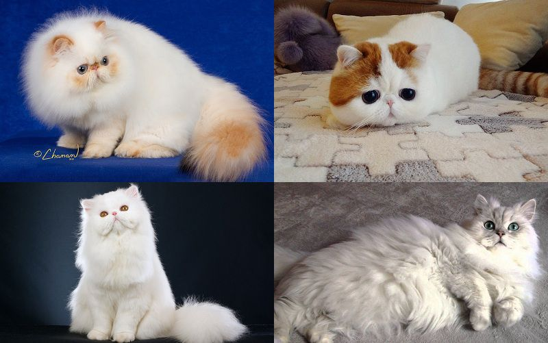 Các giống mèo ba tư: Mèo Exotic, himalaya, chinchilla