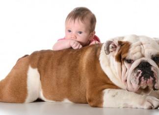 Cách nuôi chó bulldog   Chó bulldog ăn gì?