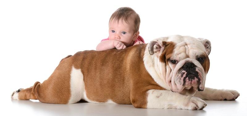 Cách nuôi chó bulldog Anh, Bulldog Pháp | Chó bulldog ăn gì?
