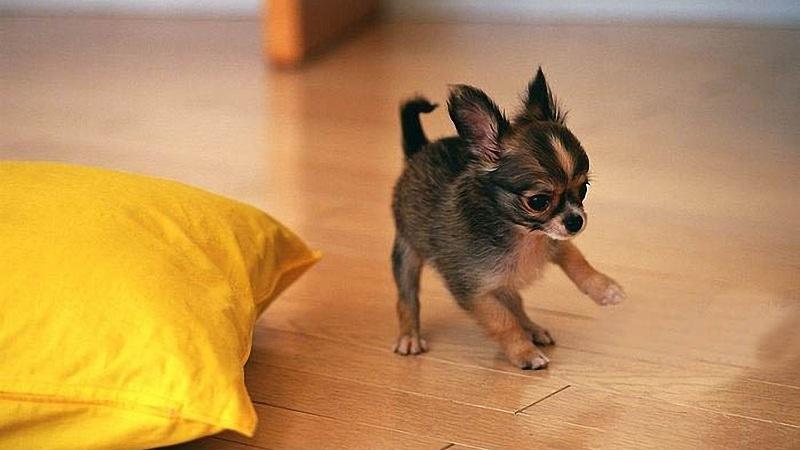 cách nuôi chó chihuahua