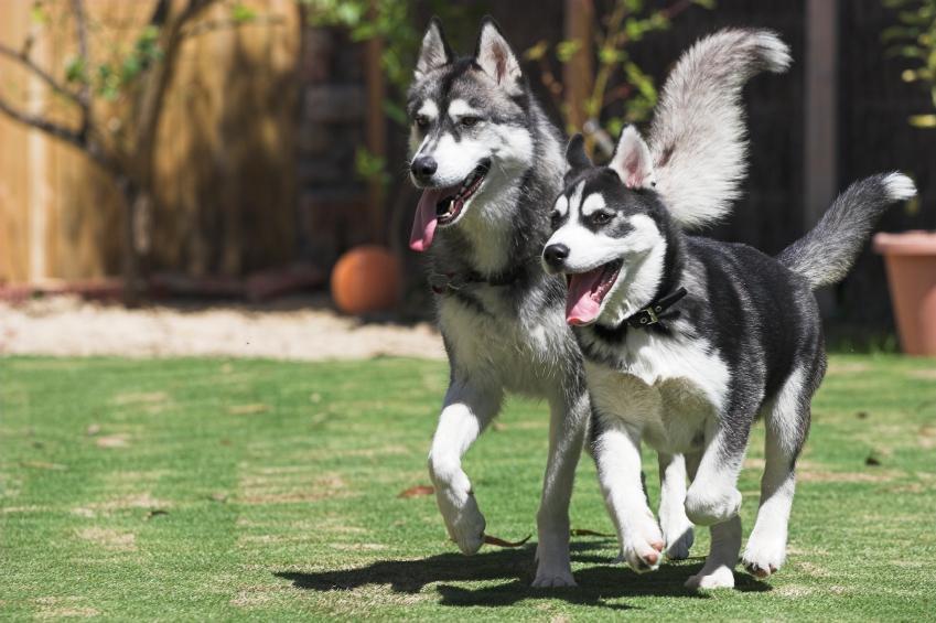 Cách nuôi chó husky, cách huấn luyện chó husky