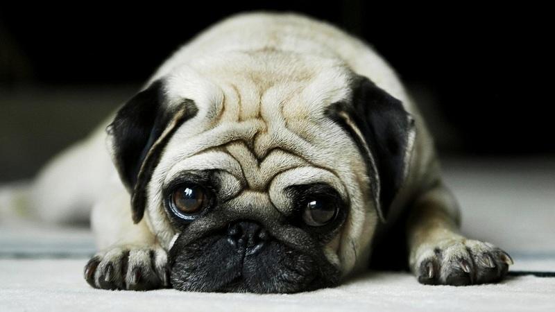 cách nuôi chó pug con | kinh nghiệm nuôi chó pug
