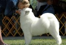 Cách nuôi chó samoyed con