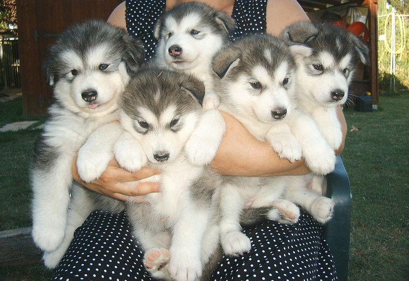 Cách nuôi chó Alaska   Cách huấn luyện chó Alaska