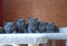 Cách nuôi mèo Anh lông dài | Các nuôi mèo Anh lông ngắn