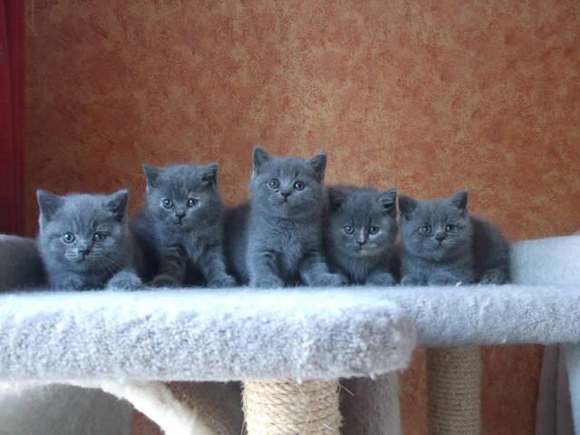 Cách nuôi mèo Anh lông dài   Các nuôi mèo Anh lông ngắn