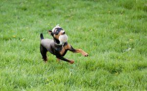cách-nuôi-chó-phốc-hươu-2 (1)