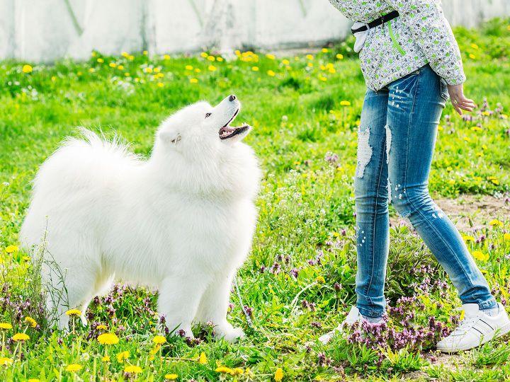 Cách nuôi, chăm sóc chó samoyed. Cách huấn luyện chó Samoyed con