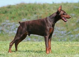 Chó doberman - giống chó cảnh đẹp nhất thế giới