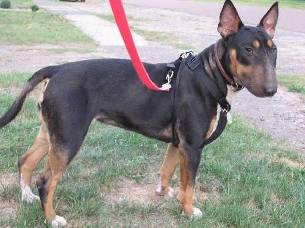 Chó Rottweiler lai chó Sục Anh