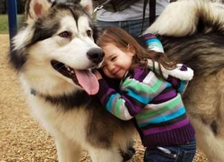 Chó Alaska Giant | Các loại chó Alaska