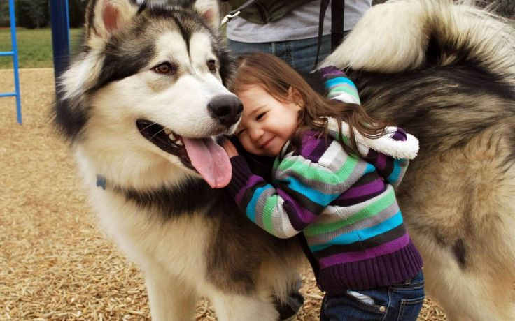 Chó Giant Alaska, Stand, Large. Các loại chó Alaska