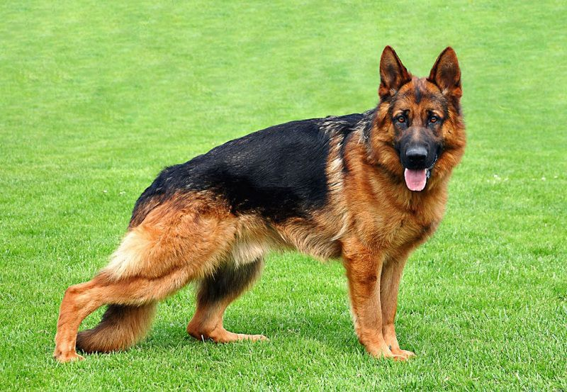Chó Becgie Đức (Berger) | Chó chăn cừu đức | Chó GSD thuần chủng