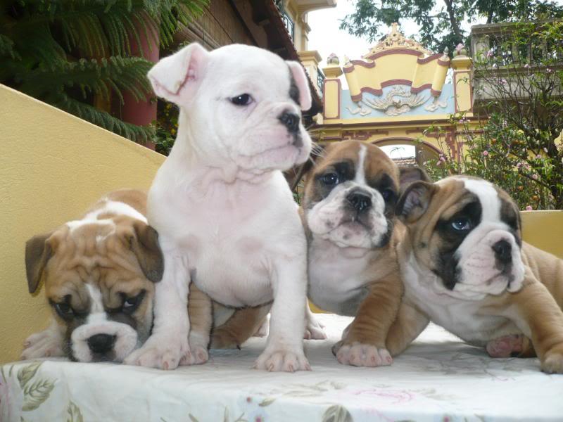 mua chó bulldog giá bao nhiêu tiền? Giá chó bulldog