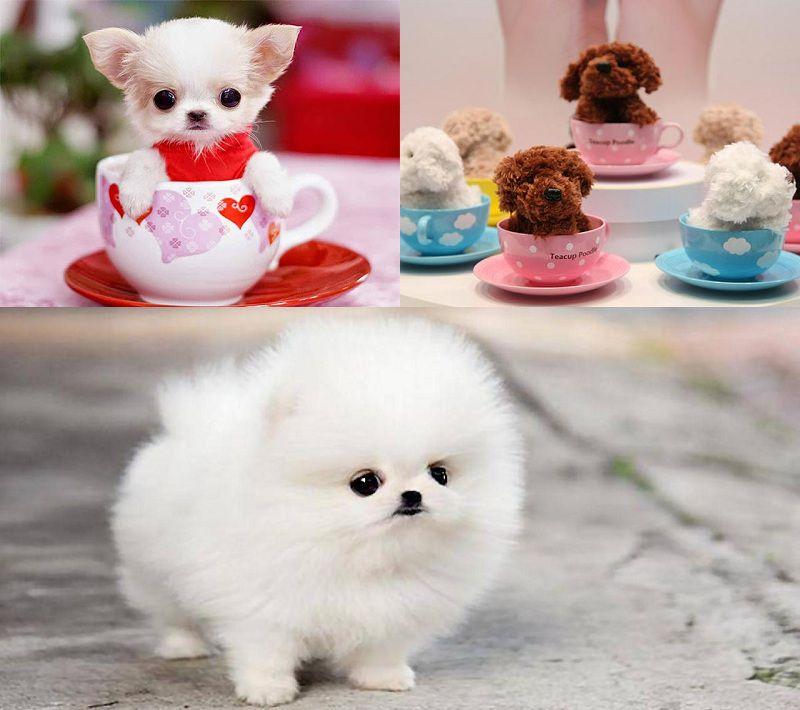 Chó Teacup Pomeranian, Chihuahua, Poodle. Giá chó Teacup