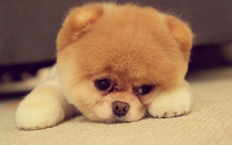 Chó phốc sóc mặt gấu giá bao nhiêu? Mua bán phốc sóc mặt gấu mini