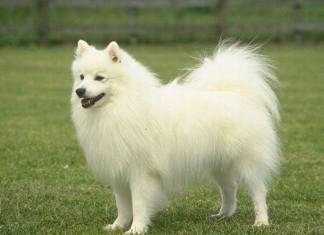 Chó phốc sóc, chó pomerania, chó fox sóc