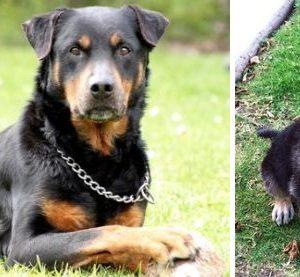 cho-Rottweiler-lai-becgie