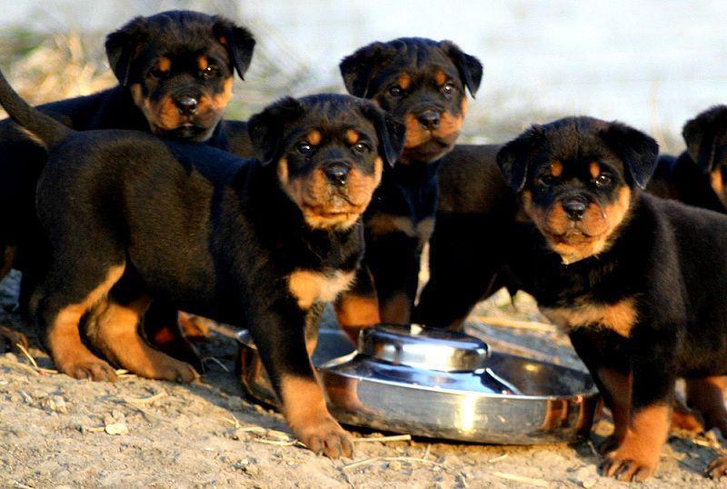 cho chó rottweiler ăn gì? thức ăn cho chó rottweiler