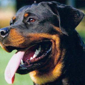 cho-rottweiler-thuan-chung-dep-nhat-1