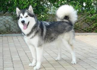 giống chó alaska - Alaskan Malamute
