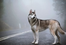 Giống chó husky sibir hay siberian husky